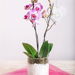 Cam İçerisinde Orkide