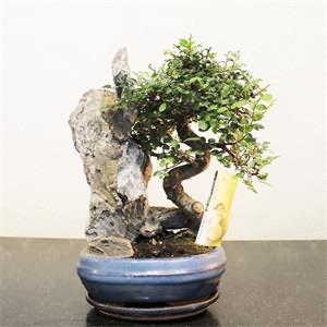 Bonsai Ağacı