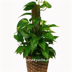 Patos Saksı Çiçeği