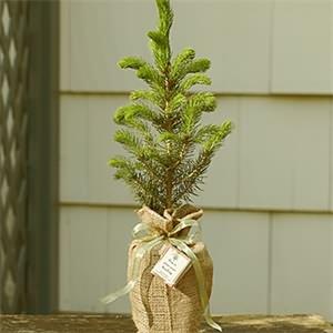 Ladin Ağacı Siparişi