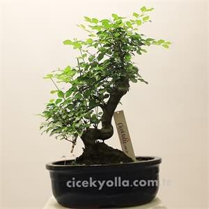 Aşk Ağacı Bonsai
