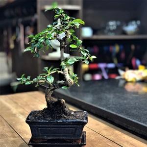 Bonsai Sanatı