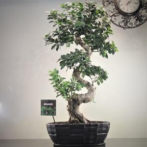 Cascade Ginseng bonzai