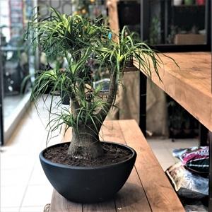 Bonsai Koleksiyonu