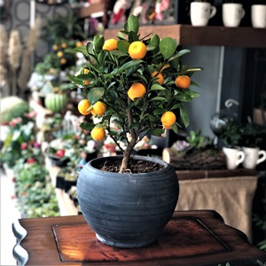 Meyveli Mandalina Bonsai