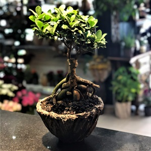 Finglas Ginseng Bonsai