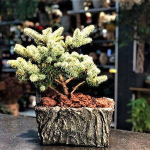 Ladin Bonsai