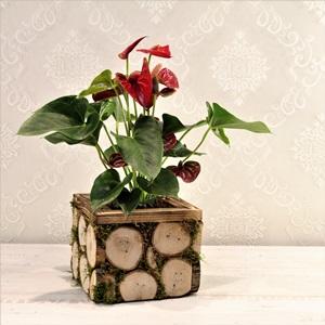 Antoryum Çiçeği