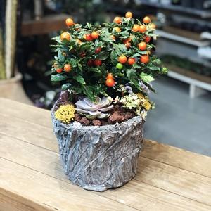 Solanum Ve Sukulent Dizayn