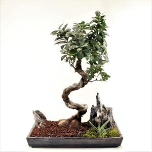 Ginseng Bonsai