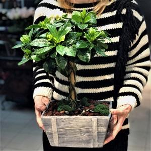 Gardenya Bonsai Ağacı