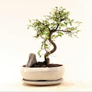Kayalı Bonsai