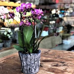 Midi Orkide
