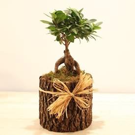 Doğal Saksida Ginseng Bonsai