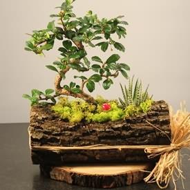 Özel Doğal Saksıda Bonsai