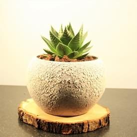 Echinocactus Siparişi