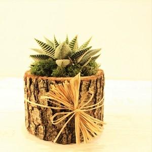 Succulent Siparişi