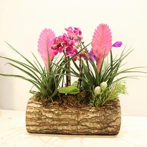 Tillandsia cyanea (hava çiçeği)