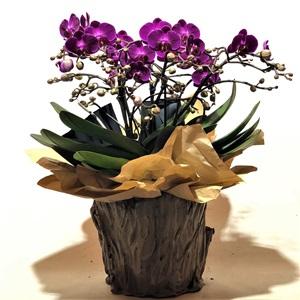 Midi Özel Orkide