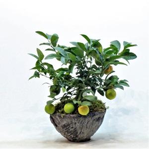 Minyatür Limon Ağacı