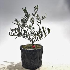 Zeytin Ağacı Bonsai