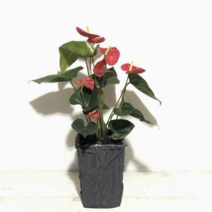 Anthurium Çiçeği