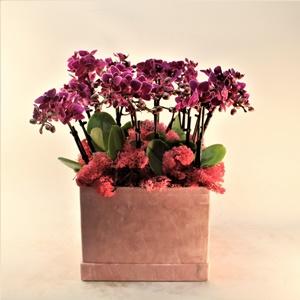 Kutuda Mini Orkide