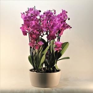 Orkide Gönderimi