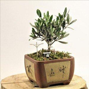 Bonsai Zeytin Ağacı