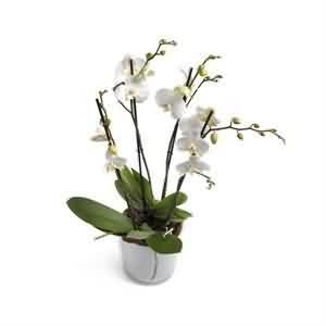 Online Orkide yolla