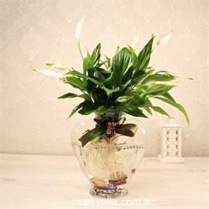 Kalp Cam Şans Çiçeği