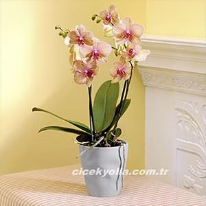 A Kalite Orkide Gönder?