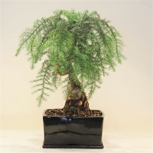 Arocaria Bonsai Salon Çamı
