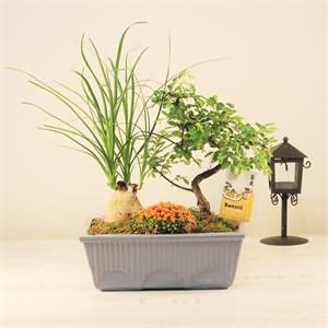 Minyatür Bonsai ağaçı