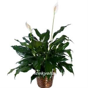 Van`a saksı çiçeği