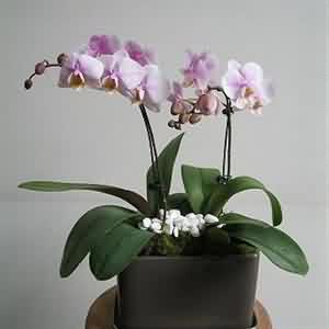 ciftli orkide
