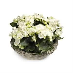 Begonya Çiçekleri