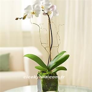 Orkide Çiçeği Siparişi