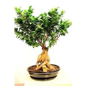 Bonsai Büyük ficus Ağacı
