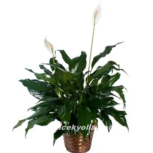 Kilis`e saksı çiçeği