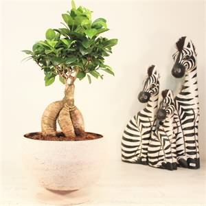 Ficus Bonsai (orta boy)