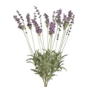 Lavanta Çiçekleri