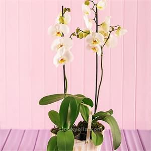 Sepet İçerisinde Orkide