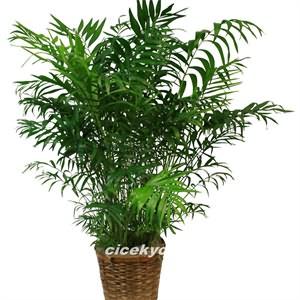 Bol Yapraklı Areka Bitkisi