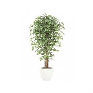 Büyük Ficus Ağacı
