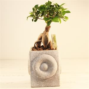 Bonsai Gingseng Orta Boy