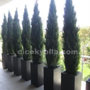 7 li Mazı Ağacı