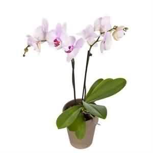 Pembe Orkide Siparişi