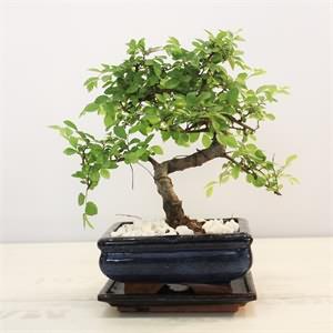 Masanızda Bonsai