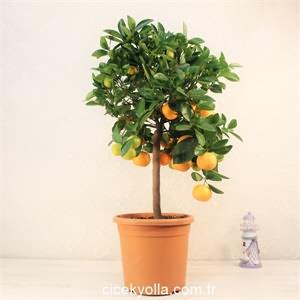 Baston Kumkuat Ağacı